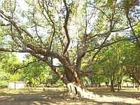 Arbre Figuil Nord-Cameroun